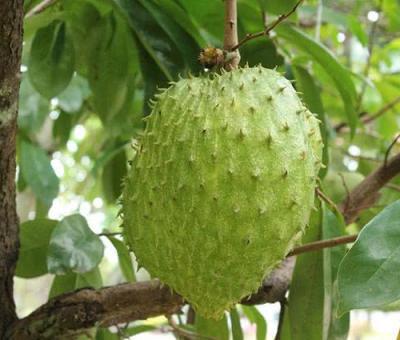 Гравиола – новото – старо чудо на природата за здраве