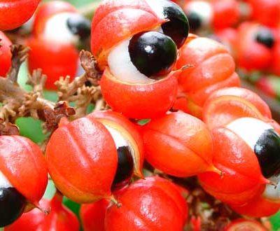 Гуарана (paullinea cupana)