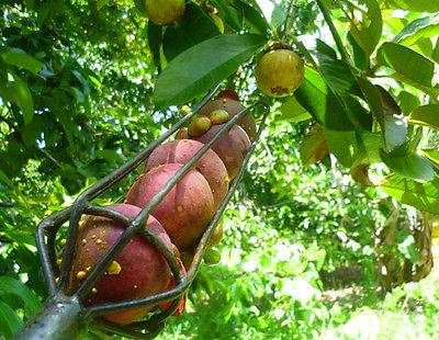 Чудодейните ползи от мангостин