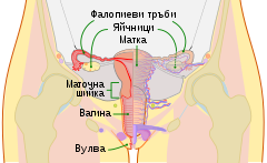 Шийката на матката